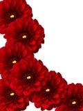 Flowers dahlias Royalty Free Stock Photography