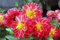 Flowers of dahlias in fiery red yellow colors Royalty Free Stock Photos