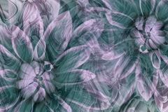 Flowers dahlias white-turquoise-pink. flowers  background. floral collage.  abstract composition. Stock Photography