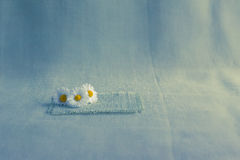 Flowers daisies background canvas Stock Images