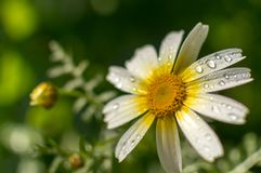 Daisies. Flowers daisies blooming in the beginning of spring Royalty Free Stock Image