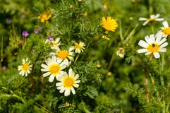 Daisies. Flowers daisies blooming in the beginning of spring Stock Photo