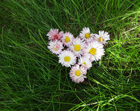 Flowers daisies in a heart shape Stock Photo