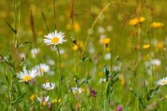 Flowers daisies Stock Image