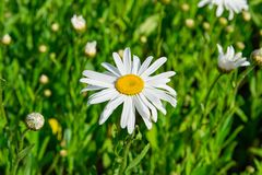Flowers of daisies on a Sunny day in nature. royalty free stock image