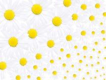 Flowers of daisy. Nice flowers of daisy background Stock Photo