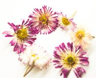 Flowers daisy and heart on white royalty free stock image