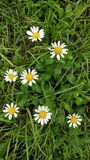 Flowers daisy in nature meadow spring Royalty Free Stock Photo