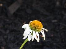 Flowers Daisy Petals Stock Image