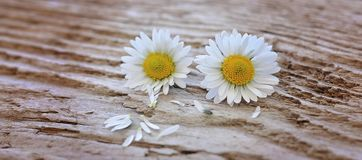 Flowers, Daisy, White-Yellow, Wood Stock Photography