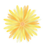 Flowers Daisy of Yellow Stock Photos