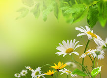 Flowers daisywheel Royalty Free Stock Image