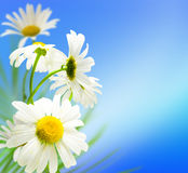 Flowers daisywheels Royalty Free Stock Photo
