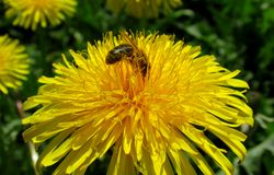 Flowers dandelion. Bee collects nectar yellow dandelion stock photography