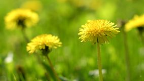 Flowers of dandelion on green grass. Background stock footage