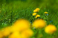 Flowers of dandelion Stock Photography