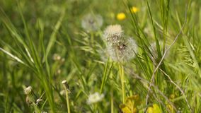 Flowers dandelion. Spring background. With dandelions stock video