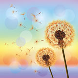 Flowers dandelions on background of sunset Stock Photo