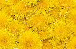 Flowers dandelions. Large fragment of colors Royalty Free Stock Photo