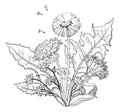 Flowers dandelions with leaves, contours Stock Images