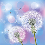 Flowers dandelions on light background Stock Image