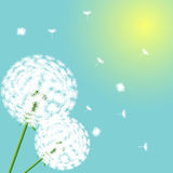 Flowers dandelions on light background Stock Images