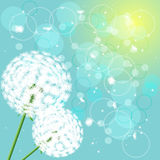 Flowers dandelions on light background Stock Photo