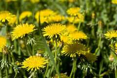 Flowers dandelions. Yellow meadow. In the spring the flowers bloom Stock Images