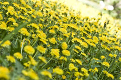 Flowers dandelions. Yellow meadow. In the spring the flowers bloom. A diagonal gradient royalty free stock images