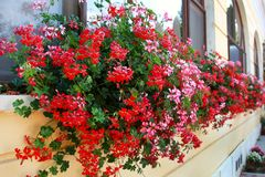 Flowers Decoration of Wall and Windows.  Royalty Free Stock Photo