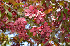 Flowers of a decorative apple-tree, grade of Royalty. Spring Stock Photo