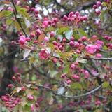 Flowers of decorative apple tree Malus niedzwetzkyana. Stock Image