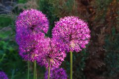 Flowers of decorative onion Allium christophii Royalty Free Stock Image