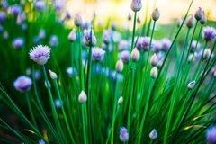 Flowers Of Decorative Purple Bow in Spring Stock Images