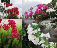 Flowers decorative tropical tree bougainvillea red, pink. white Stock Photography