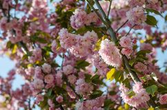 The flowers are delicate, pink and white cherry blossom, blooming in spring. stock photo