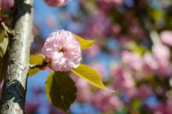 The flowers are delicate, pink and white cherry blossom, blooming in spring. royalty free stock photos