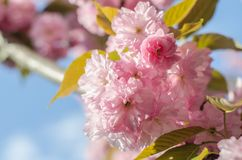 The flowers are delicate, pink and white cherry blossom, blooming in spring. royalty free stock images