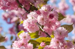 The flowers are delicate, pink and white cherry blossom, blooming in spring. royalty free stock photography