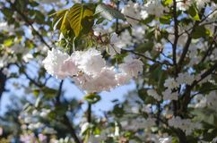 The flowers are delicate, pink and white cherry blossom, blooming in spring. stock images