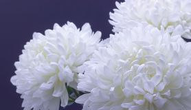 Flowers of delicate white chrysanthemum macro photo on a dark background. Flowers of delicate white chrysanthemum on a dark background royalty free stock photo