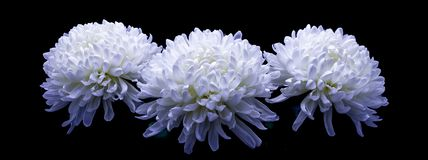 Flowers of delicate white chrysanthemum macro photo on a dark background. Flowers of delicate white chrysanthemum on a dark background royalty free stock photography