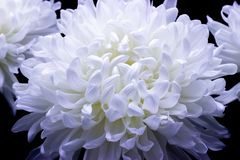 Flowers of delicate white chrysanthemum macro photo on a dark background. Flowers of delicate white chrysanthemum on a dark background stock images