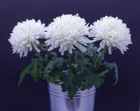 Flowers of delicate white chrysanthemum macro photo on a dark background. Flowers of delicate white chrysanthemum on a dark background stock image