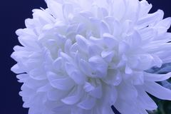 Flowers of delicate white chrysanthemum macro photo on a dark background. Flowers of delicate white chrysanthemum on a dark background royalty free stock photos