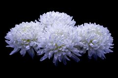Flowers of delicate white chrysanthemum macro photo on a dark background. Flowers of delicate white chrysanthemum on a dark background stock photo