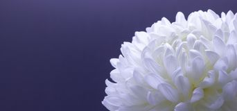 Flowers of delicate white chrysanthemum macro photo on a dark background free space for your text. Flowers of delicate white chrysanthemum on a dark background stock photo