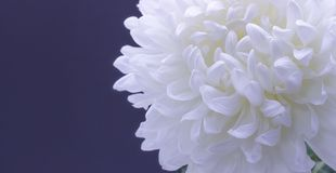 Flowers of delicate white chrysanthemum macro photo on a dark background free space for your text. Flowers of delicate white chrysanthemum on a dark background royalty free stock images