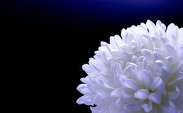 Flowers of delicate white chrysanthemum macro photo on a dark background free space for your text. Flowers of delicate white chrysanthemum on a dark background stock photos