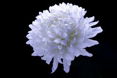 Flowers of delicate white chrysanthemum macro photo on a dark background free space for your text. Flowers of delicate white chrysanthemum on a dark background royalty free stock photo